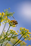Wasp på fänkål Royaltyfria Bilder