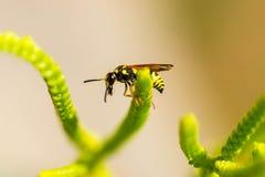 Wasp på gräs Arkivbilder
