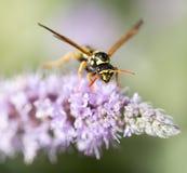 Wasp på naturen Makro arkivfoton