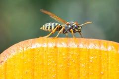 Wasp på staketet Arkivbild