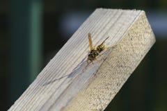 Wasp på timmerträ royaltyfri foto