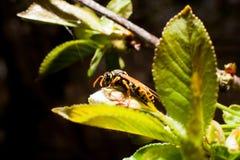 Wasp på trädet Arkivfoto