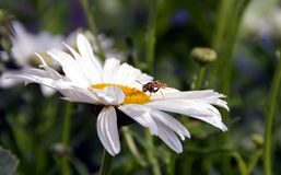Wasp på tusensköna i sommar royaltyfria foton