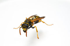 Wasp på vit Royaltyfri Fotografi