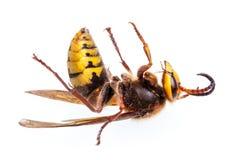 Wasp på vit bakgrund Royaltyfri Foto