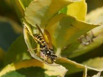 Wasp p? leafen arkivfoto