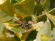 Wasp p? leafen royaltyfri bild