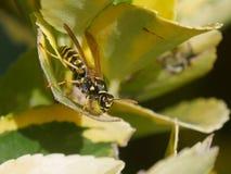 Wasp p? leafen arkivbilder