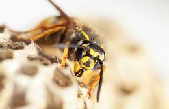 Wasp on paper nest stock photo