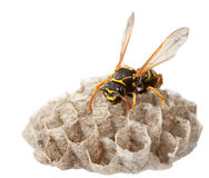 Wasp on paper vespiary stock image