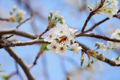 Wasp on the pear tree blooms. Royalty Free Stock Image