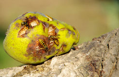 Wasp on a pear. Wasps eating fallen green pears stock image