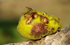 Wasp On A Pear. Wasps eating fallen green pears stock images