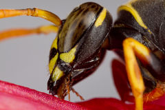 Wasp on a petal Stock Images