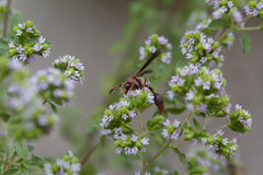 Wasp. Photo of plant in the garden with wasp Royalty Free Stock Photography