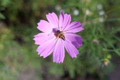 Wasp on a pink flower. A beautiful wasp gathers nectar on a pink flower Royalty Free Stock Photo