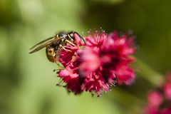 Wasp on pink flower of persicaria Stock Photos