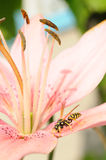 Wasp on pink lily flower Royalty Free Stock Photos