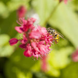 Wasp on pink red persicaria Royalty Free Stock Photography