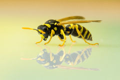 Wasp  on plain background Royalty Free Stock Photo