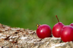 Wasp on a plum Stock Image