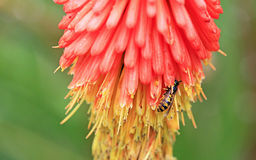 Wasp on poker flower Stock Photo