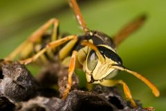 Wasp (Polistes bischoffi) Royalty Free Stock Photos