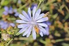 Wasp Pollinates Chicory Flower Stock Image
