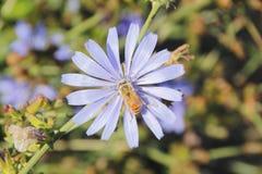 Wasp Pollinates Chicory Flower Royalty Free Stock Photo