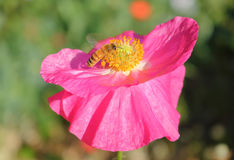 Wasp Pollinates Pink Wild Flower Stock Photo