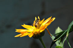Wasp pollinating flower. Macro view of wasp pollinating bright yellow flowers Stock Photo