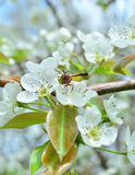 A wasp pollinating a pear blossom Royalty Free Stock Photo