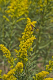 Wasp Pollinating Ragweed Flowers Royalty Free Stock Photo