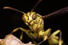 Wasp Portrait Stock Photo