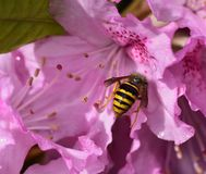 Wasp and the Rhododendron Stock Photo