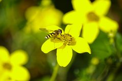 Wasp on `Ranunculus` stock photography