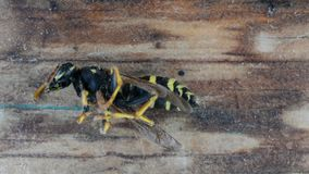 Wasp reaction to insect repellent. Fogation. Extermination of insects. Death of a wasp stock footage