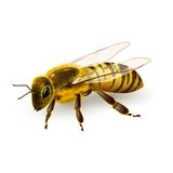 Wasp realistic isolated Royalty Free Stock Photo