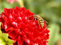Wasp and red flower. Closeup of  a wasp on a red flower. Focus on the insect Royalty Free Stock Images