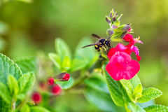 Wasp on red flower stock photos