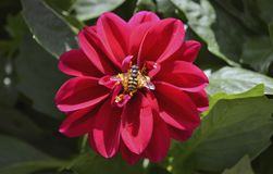 Wasp on red Dahlia flower Royalty Free Stock Photo