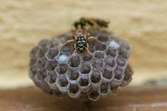 Wasp rede Arkivbilder