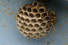 Wasp rede Royaltyfria Foton