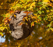 Wasp rede bland Autumn Leaves Royaltyfria Bilder