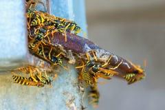 Wasp rede många stora getingar Begrepp - fara, tuggor av lös ins Royaltyfria Bilder