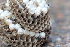 Wasp rede med larv- och äggmakro Arkivfoto