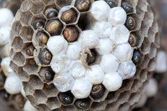 Wasp rede med larvmakro Royaltyfri Bild