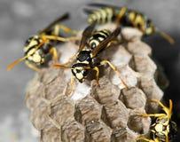 Wasp rede med puppor Royaltyfria Foton