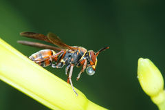 Wasp. The wasp is resting on flower of daylily Stock Photo