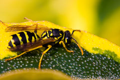 Wasp resting on a leaf Stock Photos
